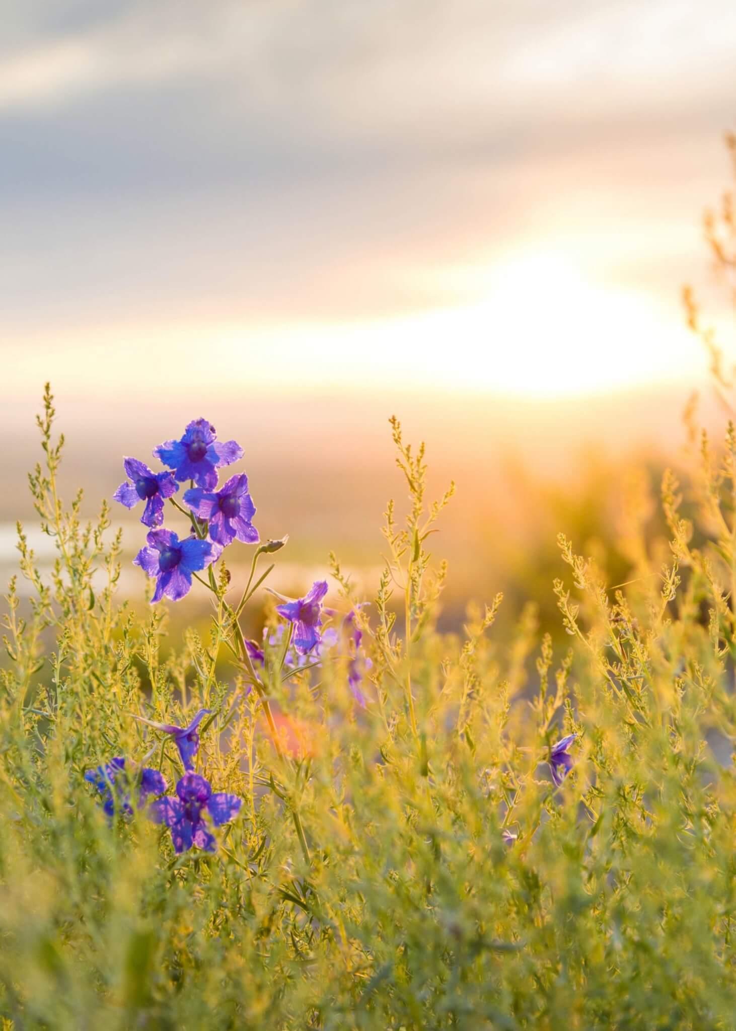 purple flower in field at sunrise