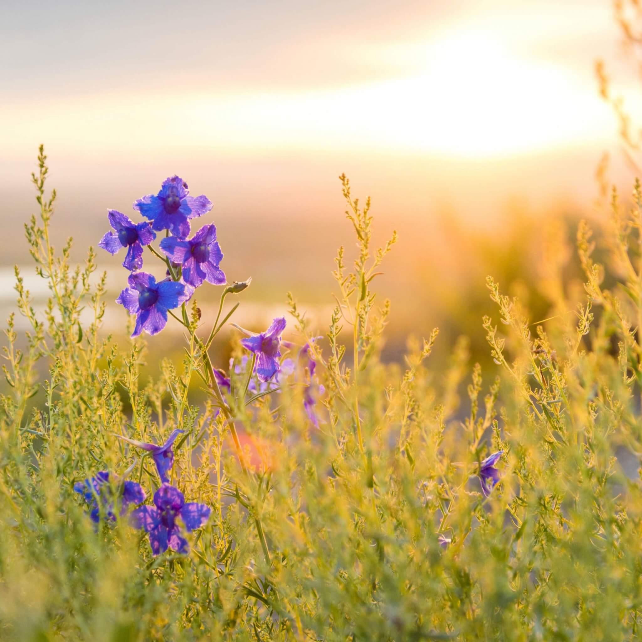 purple flowers in a field at sunrise