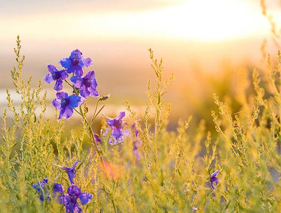 purple flowers in field